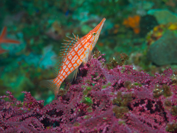 3 - Jeremy Brown - longnose hawkfish